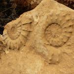 Амониты в Иудейской пустыне